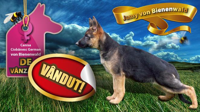 VÂNDUT! Femela ciobanesc german de vanzare – Jemy von Bienenwald