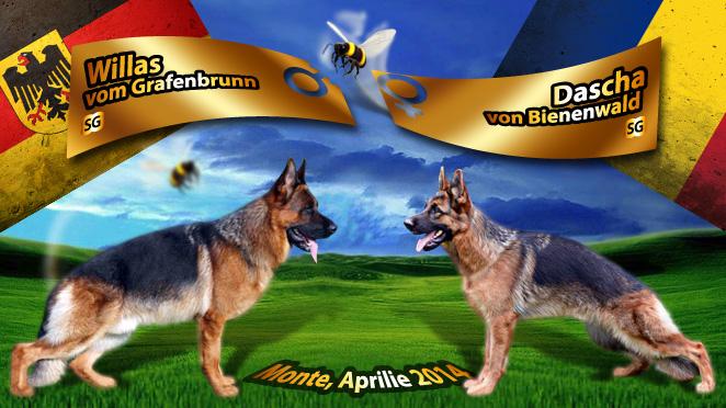 Monta ciobanesc german – Willas vom Grafenbrunn – Dascha von Bienenwald