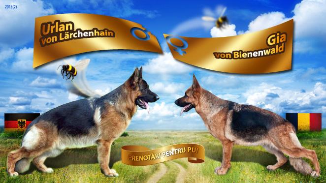 Monta ciobanesc german – Urlan von Lärchenhain – Gia von Bienenwald