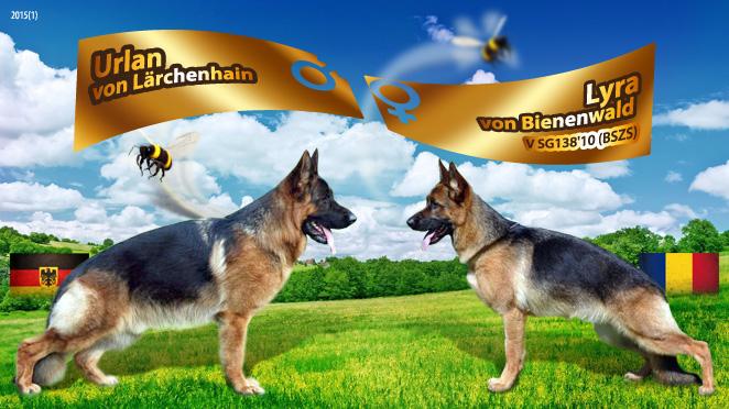 Monta ciobanesc german – Urlan von Lärchenhain – Lyra von Bienenwald
