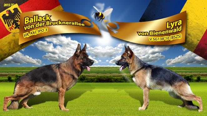 Monta ciobanesc german – Ballack von der Brucknerallee – Lyra von Bienenwald