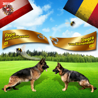 Monta ciobanesc german – Pepe vom Leithawald – Degra von Bienenwald