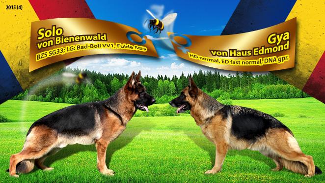 Monta ciobanesc german – Solo von Bienenwald – Gya von Haus Edmond
