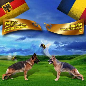 Monta ciobanesc german – Watson vom Thermodos – Dascha von Bienenwald