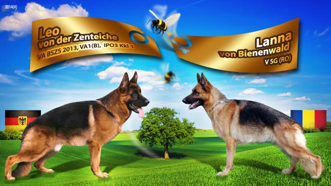 Monta ciobanesc german – Leo von der Zenteiche – Lanna von Bienenwald
